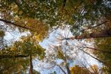 Emerald Ash Borer - Ash Tree Canopy