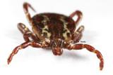 Dog or wood tick (Dermacentor variabilis)