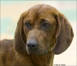 Rebone Coonhound