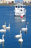 The swans of Galway