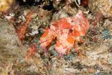 Haani slipper lobster