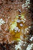 Squat Shrimp