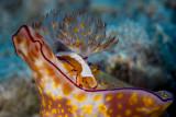 Ceratosoma Tenue with Emperor Shrimp