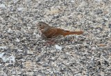 Fox Sparrow (red, taiga)