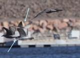 Glaucous Gull X Herring Gull
