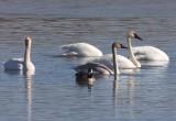 Trumpeter Swans (incl. juvenile)