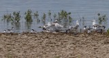 Caspian, Forster's and Black Terns