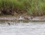 Short-billed Dowitchers, Red-necked Phalarope, Wilson's Phalarope
