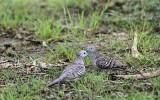 Doves & Pigeons