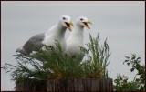 Happy Gulls.jpg