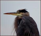 Todys Heron at the Harbour.jpg
