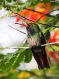 Hummingbirds In Panama
