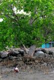 Boy under Talisay tree    DSC_0327.JPG