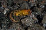 Chestnut Jawfish