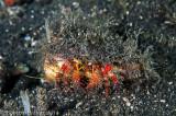 Ermitão - Hermit Crab (Calcinus sp.)