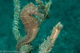 Cavalo Marinho - Common Seahorse
