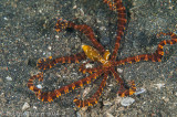 Polvo - Wunderpus Octopus