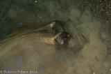 Raia - Blue spotted Stingray