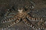 Polvo mimético - Mimic Octopus