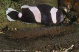 Peixe palhaço e suas ovas (Saddelback anemonefish)