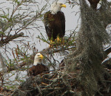 Bald Eagles in Louisiana