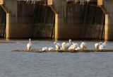 High Water Houses Pelicans at the Spillway Locks December 2015