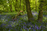 Banstead Wood in May