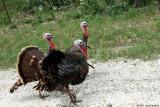 June 25th 2014 - Road Turkeys - 120922_1.jpg