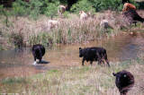 April 15th 2011 - Cows and Stream - 2045.jpg