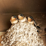 June 6th 2011 - Baby Birds Revisited - 2176.jpg
