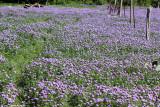 April 4th 2012 - Field of Flowers - 0461.jpg