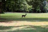 June 19th 2012 - Deer in Field - 0883.jpg