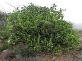 Dubautia Arborea