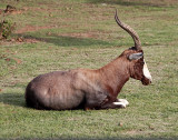A Chilling Blesbok