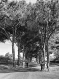 Roma arboles gigantes !