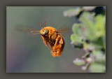Eye To EyeMale Xylocopa varipunctaValley Carpenter Bee