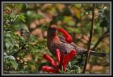 Drunken Male House Sparrow ;-o)