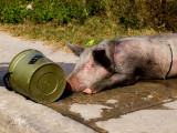 Pig and Cooling Water - Brad