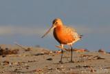 Barge rousse - Bar-tailed Godwit
