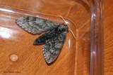 Sphinx ondulé (ceratomia undulosa)