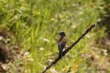 Guiraca bleu (Blue Grosbeak)