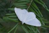Petite Arpenteuse de l'érable (Speranza pustularia)