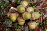 Fruits chêne