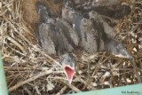 Grand Corbeau (Common Raven) 2/4