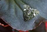 Phosphila miselioides