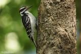 Pic chevelu (Hairy Woodpecker)