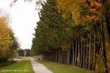 Chemin de pins