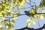Paruline azurée (Cerulean Warbler)