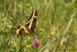Grand Porte-Queue - Papilio cresphontes