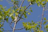 Paruline de Brewster (Brewster's Warbler)